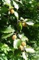 2 - Le Hêtre, (ici : feuillage et fruits) accompagne le Chêne rouvre sur le plateau de la montagne de Reims.