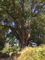 Le vieux chêne majestueux ...