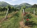 Dans le vignoble d'Irouleguy