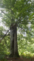 Les arbres entrelacés
