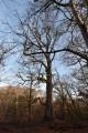 Les chênes à Tronçais