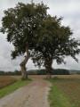 Les chênes de la Garouille