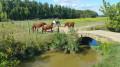 Les chevaux dans les barthes
