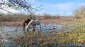Les chevaux dans les marais près du canal du Midi