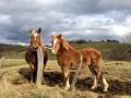 les chevaux de Talley