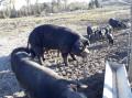 Les cochons noirs