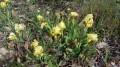 Les iris de Siberie jaunes