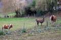 Les Lamas du Bouillon