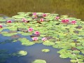 les nymphéas de l'étang du Gourin