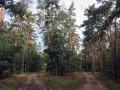 Les pineraies du Chemin forestier Moder