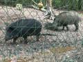 Les sangliers du parc animalier de la forêt de Grimbosq