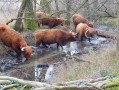 Les vaches Highland de la Petite Camargue