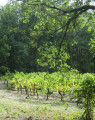 Les vignes changent de couleur