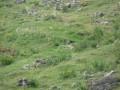 Marmotte à la clairière
