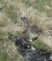 Marmotte dans le Sancy