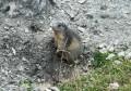 Marmotte sur le chemin