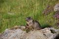 Marmottons vers le Col des Chevrettes