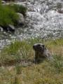 Marmotttes