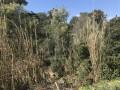 Mimosas et roseaux le long du ruisseau des Saquèdes