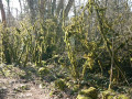 Mousses arborescentes