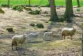 """Moutons dans le domaine """"des Fontaines"""""""