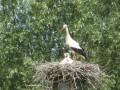 L'envol du cigogneau : petit tour du Marais Vernier