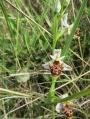 Ophrys dans un talus