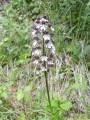 Orchis purpurea ( orchidée sauvage)