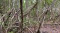 Palétuviers de la mangrove