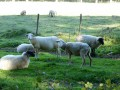 Parc à moutons