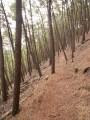 Passage dans le bois de pins