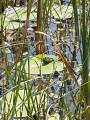 Petite grenouille sur nénuphar