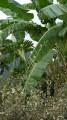 Plant de Bananier