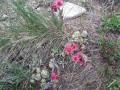 Plante grasse en fleur