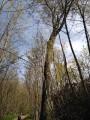 (2) Quel est cet arbre géant au milieu de jeunes hêtres ?