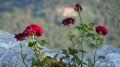 quelques roses toutes seules au bord du vide..