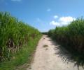 Randonnée à travers les champs de canne à sucre