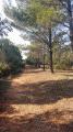Rangée de pins au droit du sommet du bois communal