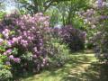 Rhododendrons de Varengeville
