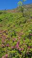 Rhododendrons en fleurs et géraniums sauvages