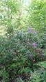 Rhododendrons en forêt