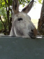 Robert  l'âne