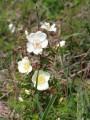 Rose primprenelle