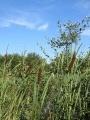 Roseaux à l'étang Mouton