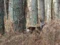 Grande boucle dans la forêt de Roumare