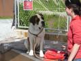 Saint Bernard at the kennels