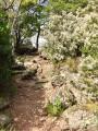 Sentier bordé de bruyères arborescentes ...