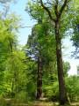 Séquoia 1