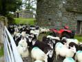 Sheep at Loughrigg Fold