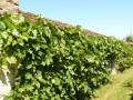 Thomery. Mur à vignes